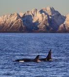 Orcas selvagens, Vestfjord, Lofoten, Noruega imagem de stock royalty free