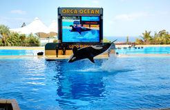 The Orcas show in Loro Parque Royalty Free Stock Images
