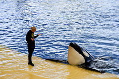 The orcas show in Loro Parque, Tenerife island, Spain Stock Photography