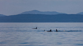 Orcas in the Strait Stock Photos