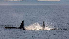 Orcas in the Strait Royalty Free Stock Image
