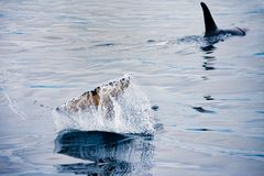 Orcas swimming and playing in the Johnstone Strait in British Columbia stock photography