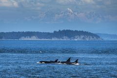 Orcas swimming in Vancouver
