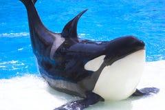 orcashow Fotografering för Bildbyråer