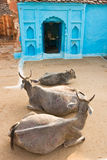 orcha 3 Индии коровы стоковые фото