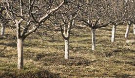 orchad royaltyfria foton