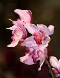 Orchad rosado imagen de archivo libre de regalías