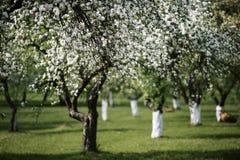 Orchad se développant de pomme au printemps Photographie stock