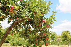 Orchand das árvores de Apple imagens de stock