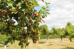 Orchand das árvores de Apple imagem de stock