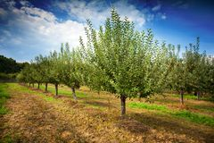 Orchard. With apple trees with red apples Stock Photos