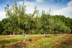 Orchard. With apple trees with red apples Stock Photography