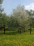 Orchard. In spring-time stock photography