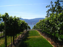 In the orchard. View of the grape vines, walking through stock image