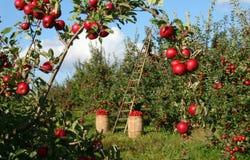 The Orchard. Apple orchard near Port Williams, Nova Scotia, Canada Stock Photo