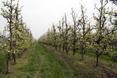 An orchard Royalty Free Stock Images