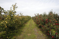 Orchard. Trees in the orchard with red and yellow apples Royalty Free Stock Photo