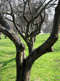 Orchard. Row of old apple trees in orchard stock photo