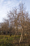 Orchard. With leafless trees in fall Stock Photos