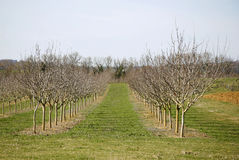 Orchard. Fruit tree orchard lined in symmetrical field Royalty Free Stock Photography