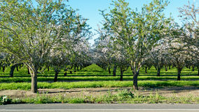 The orchard across the street. Panoramic view of almond blossoms in orchard photographed from across the street, showing a section of the road, in the beginning Royalty Free Stock Photography