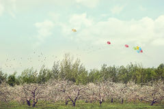 Orchard of apple blossoming trees Stock Photography