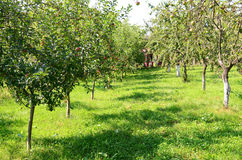 Orchard. An apple orchard in Romania Stock Photo