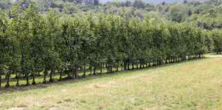 Orchard with Apple trees in the mountains Stock Images