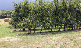 Orchard with Apple trees in the mountains of Northern Italy Royalty Free Stock Photography