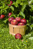 Orchard Apples Royalty Free Stock Photos