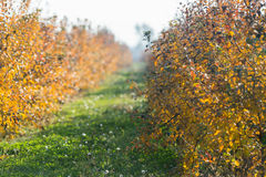Orchard apples in fall Stock Images