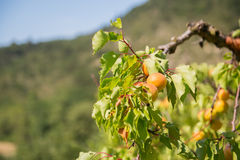 Orchard with apricots Stock Images