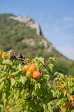 Orchard with apricots Royalty Free Stock Images