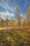 Orchard of aspen trees. Stock Photo