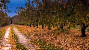 Orchard in Autumn. With colorful fallen leaves on the ground with sky view Stock Photo