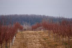 Orchard early works, Avenue of young trees royalty free stock photo