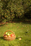 Orchard. Basket of freshly picked apples in the orchard Royalty Free Stock Photo