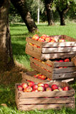 Orchard Royalty Free Stock Photo