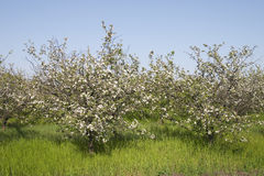 Orchard bloom. White orchard bloom in garden Stock Images