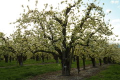 Orchard in bloom Royalty Free Stock Photos