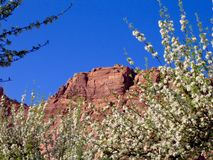 Orchard in bloom, blue skies and golden cliffs at Capitol Reef National Park Royalty Free Stock Photo