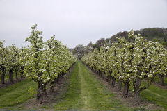 Orchard with blooming apple low trunk trees Stock Photos