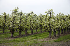 Orchard with blooming apple low trunk trees Stock Images