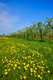 Orchard, blooming apple trees and a meadow with dandelions Stock Photo