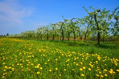 Orchard, blooming apple trees and a meadow with dandelions Royalty Free Stock Photo