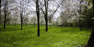 Orchard with blooming cherry trees Stock Photo