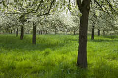Orchard with blooming fruit trees Stock Image