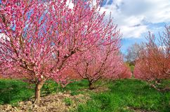 Orchard blooming spring garden. Royalty Free Stock Photo