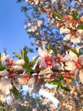 Orchard Blooms in Central Cali. Springtime Orchard Blooms in Central California are pictured here stock photo