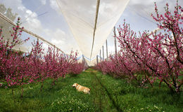 Orchard in blossom with dog in the grass Royalty Free Stock Images